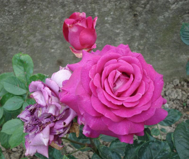 Rose - Seminala