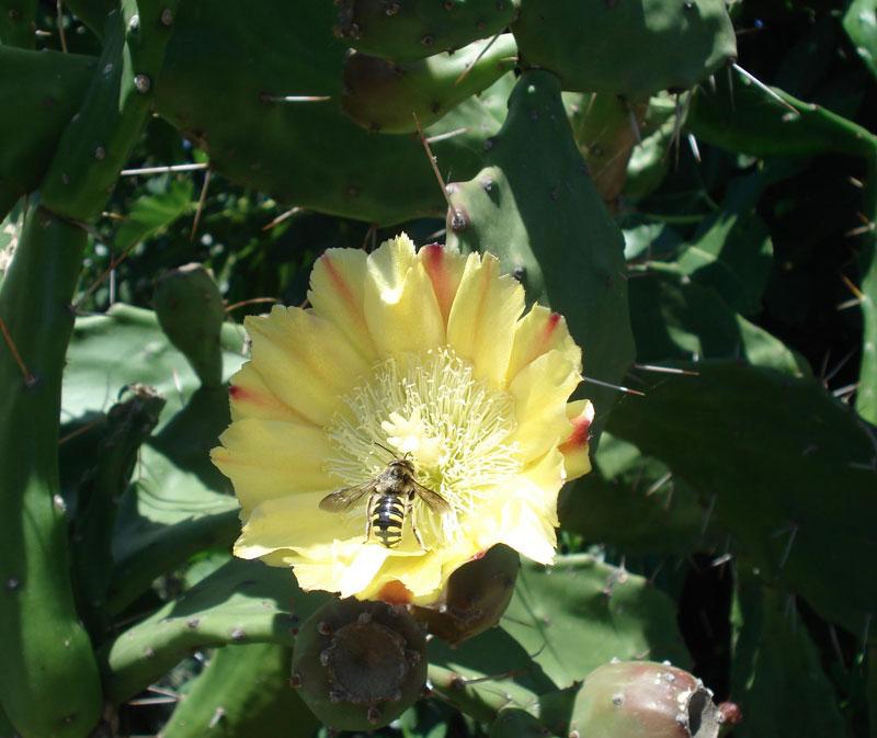 Fico d'India, Opuntia - Seminala