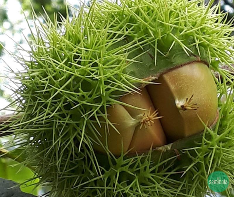 Castagne, frutti autunnali, Seminala