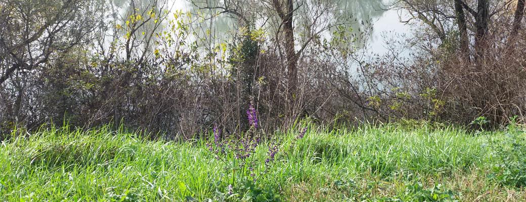 Erba ed erbacce, fiume Mincio, Alberi, Seminala