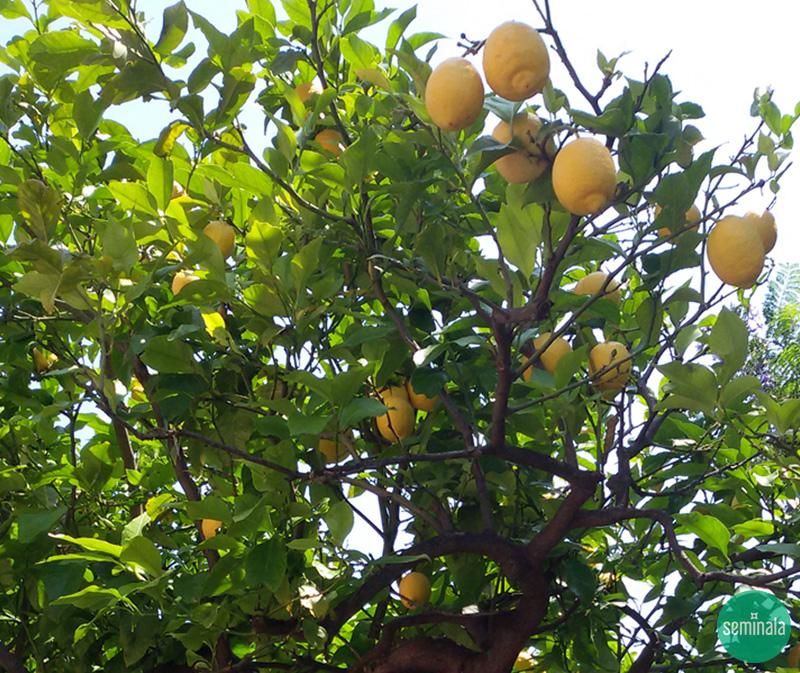 Pianta di limoni, giardino ligure - Seminala