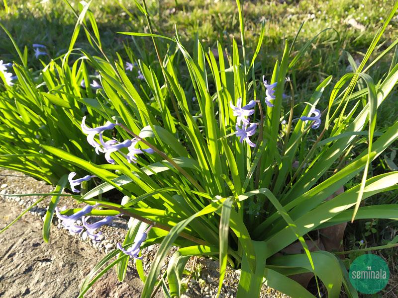 Giacinti nel giardino a primavera, Seminala