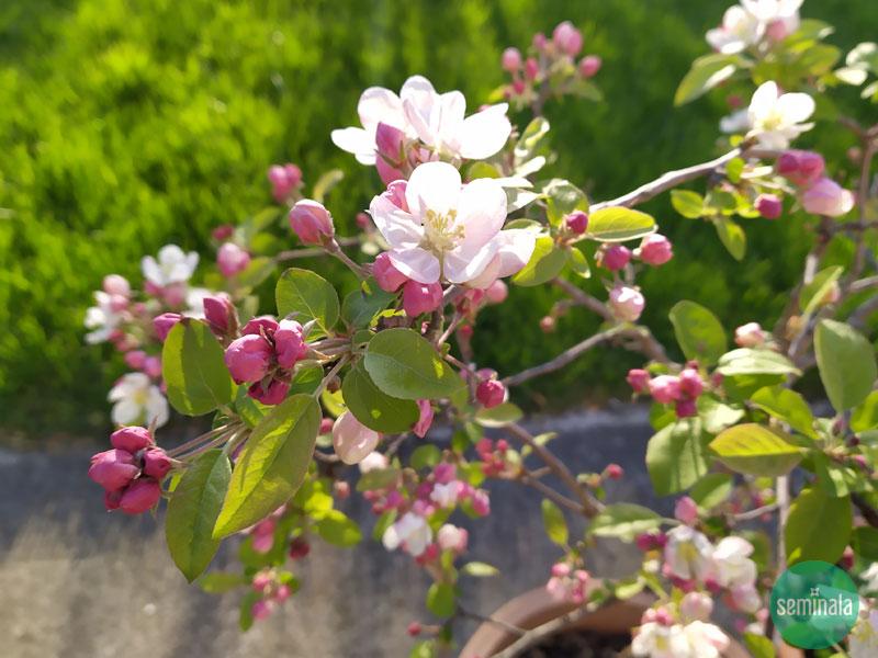 Melo nano, giardino a primavera, Seminala