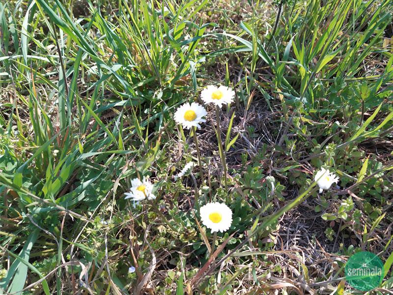 Pratoline, giardino a primavera, Seminala