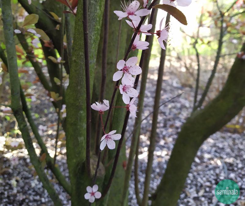 Prunus nel giardino a primavera, Seminala