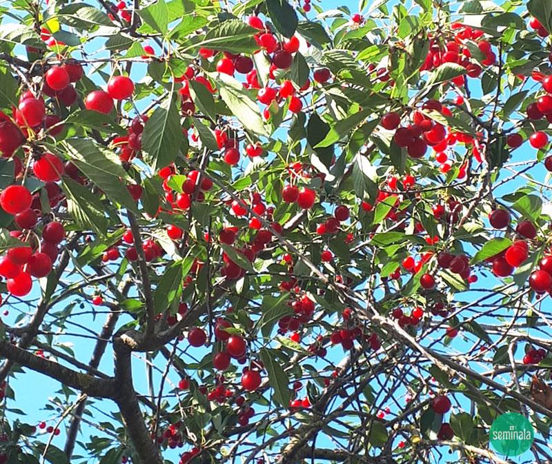 Ciliegio acido, Prunus cerasus, Seminala