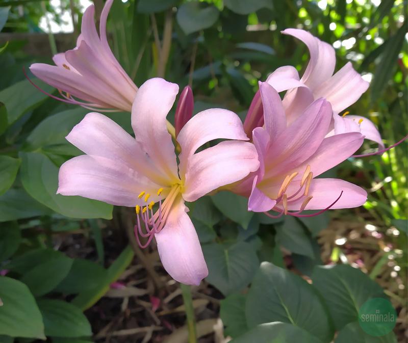 Amaryllis belladonna, giardino, Seminala