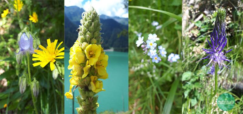 campanella barbuta,verbasco,epilobio, raponzolo, Lago di Anterselva