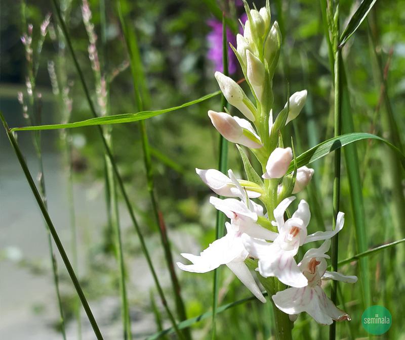 orchidea selvatica anacamptys pyramidalis nivea bianca