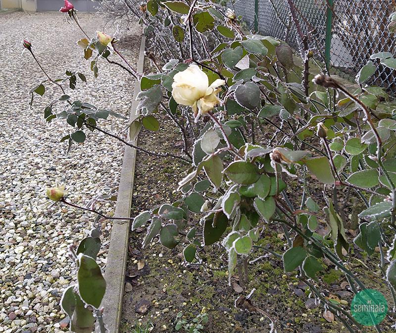 Rose prima della potatura invernale, Seminala