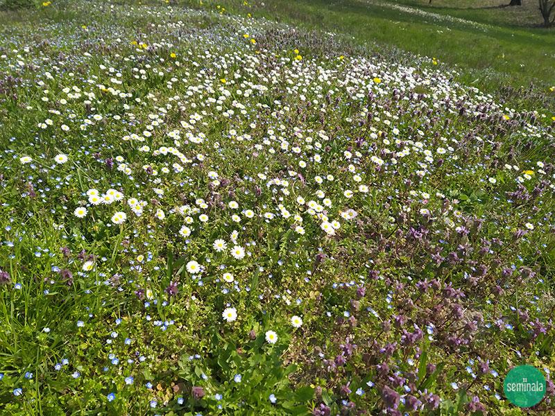 Prato con margherite a primavera, Seminala