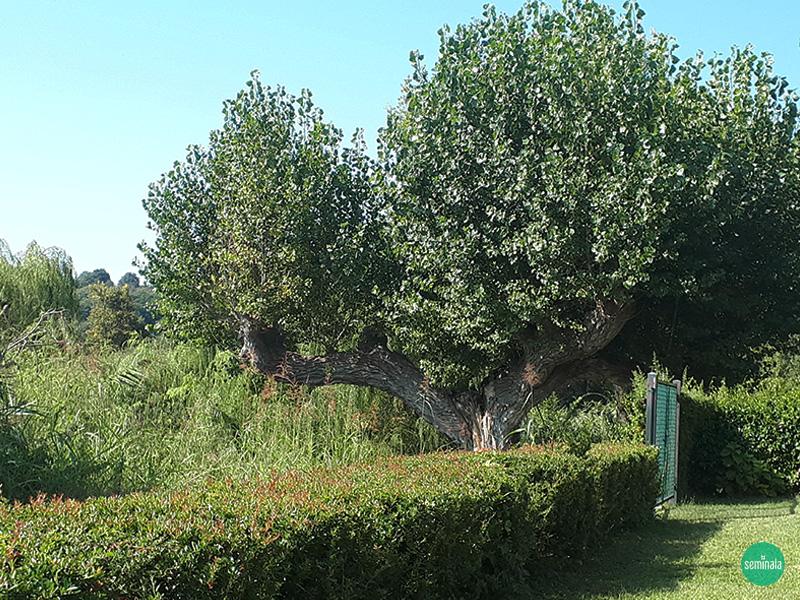 Castellaro Lagusello, albero centenario